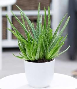 Aloe Vera im 12 cm Topf