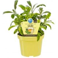 Bio-Kräuterpflanze Salbei, im ca. 12 cm-Topf