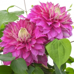 Clematis ´Kaiser´ PBR ´Blushing Bridesmaid´