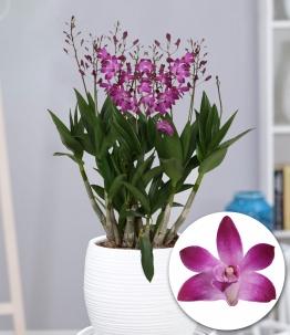 Dendrobium 'Berry Oda'