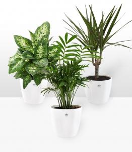 Luftreinigender Zimmerpflanzen-Mix inkl. Elho-Übertöpfe 'Weiß'
