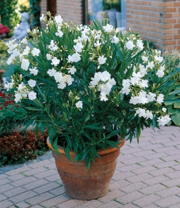Oleander 'Classico Weiß'