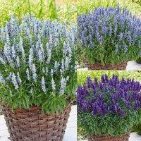Salbei Farina®-Mix 6 Maxi Jungpflanzen