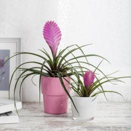 Tillandsie Anita, pink, im ca. 12 cm-Topf