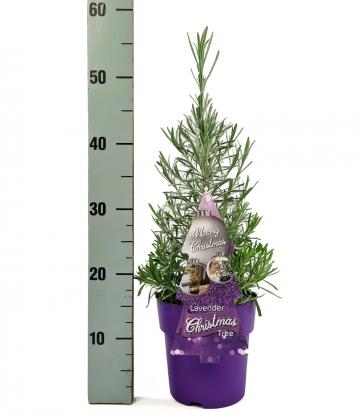 Weihnachtsbaum 'Lavendel'