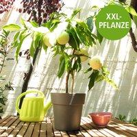 Weißer Balkon-Pfirsich 'Fruit Me® Icepeach®' XXL, 90 cm Höhe