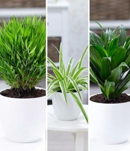 Zimmerpflanzen-Mix 'Grünes Trio'